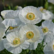 Papaver rhoeas Bridal Silk  - Poppy -  Approx 120 seeds